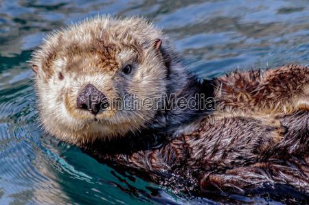 sea, otter - 17081530