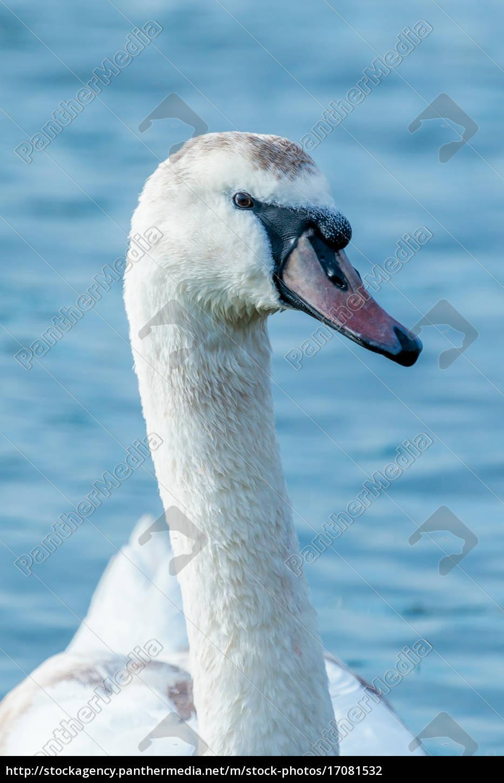 swan, portrait - 17081532