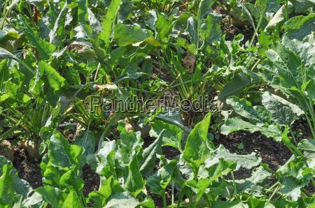 sugar beet vegetables