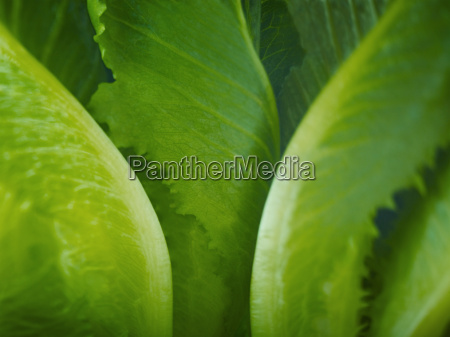 extreme close up of romaine lettuce