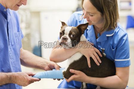 veterinarians bandaging dogs leg in vets