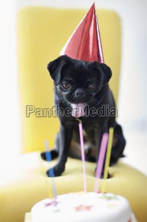 dog in party hat examining birthday