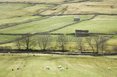 sheep grazing in rural fields