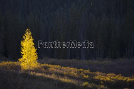glowing yellow autumn tree kebler pass