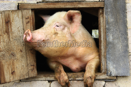 pig looks out from window of
