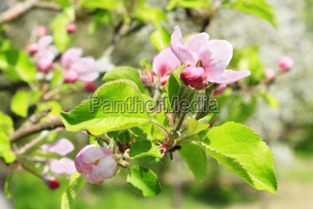 branch of blossoming apple tree