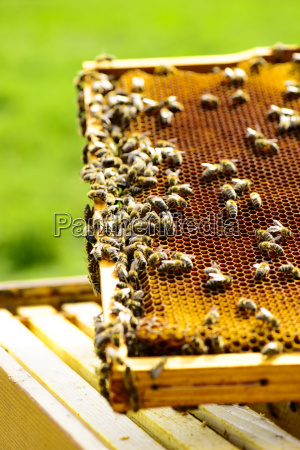 honeycomb frame with honeybees