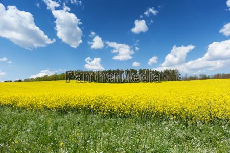 coleseed rape field agriculture farming useful