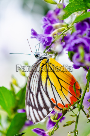 painted jezebel colorful butterfly