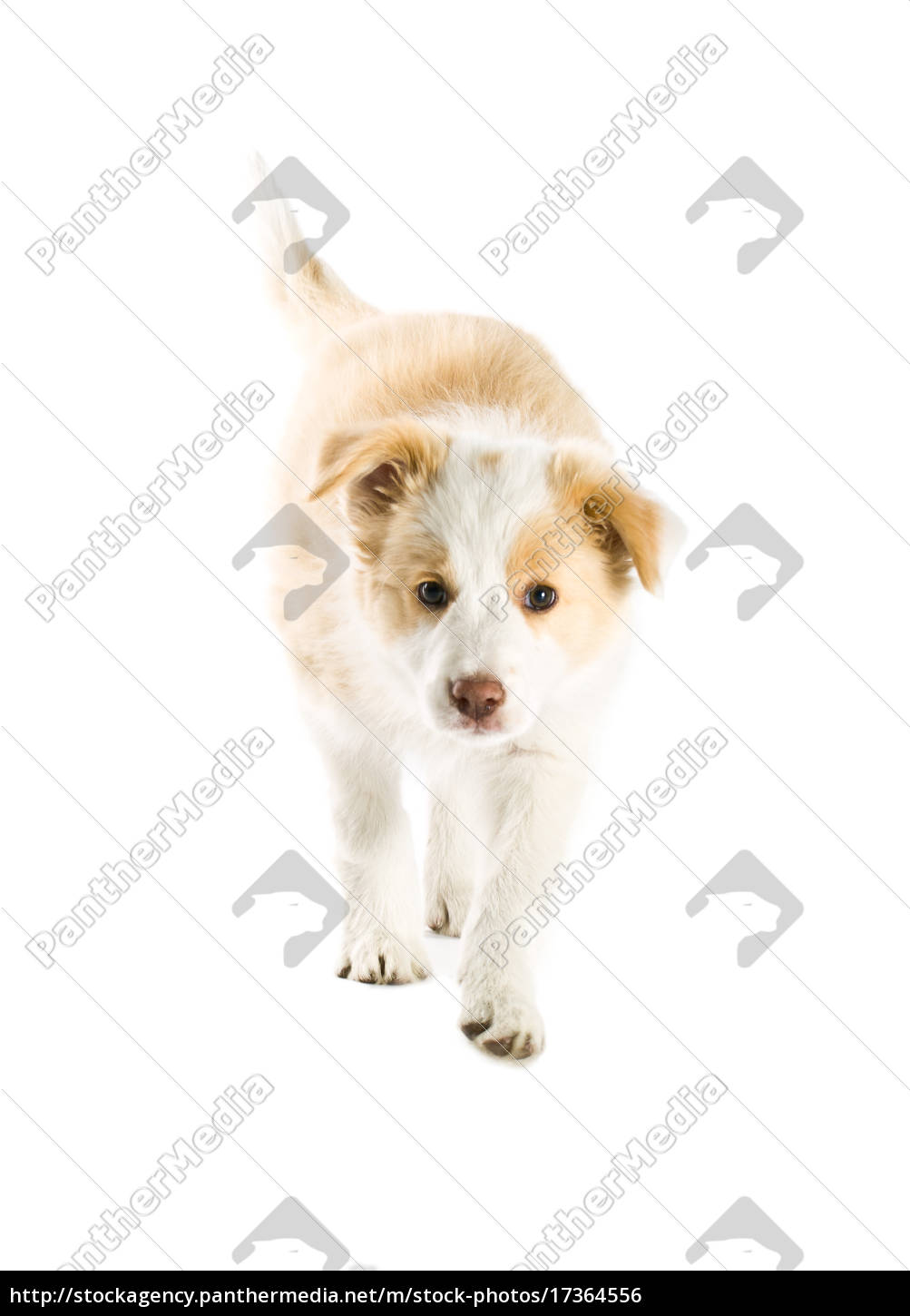 Border Collie Puppy Royalty Free Photo 17364556 Panthermedia