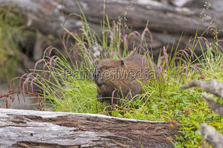 introduced north american beaver in tierra