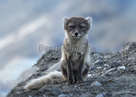 greenland kulusuk arctic fox