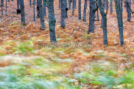 spain avila autumn in the forest