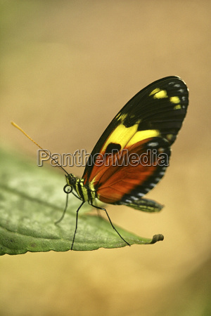 ecuador multi colored butterfly