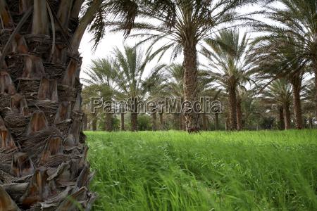 tunisia grand erg oriental palm trees