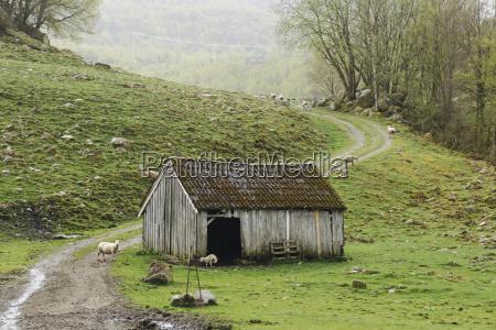 norway stavanger region flock of sheep