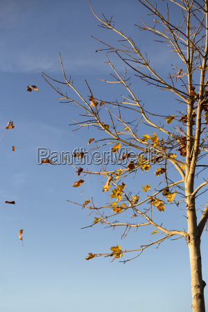 tree loosing leaves on a windy