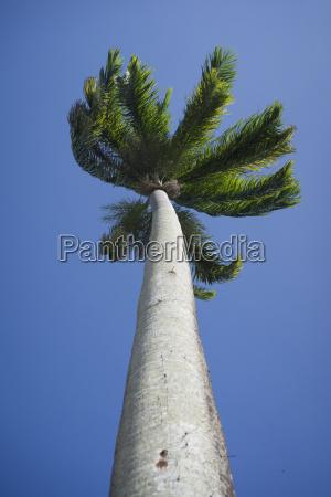 brazil bahia palm tree in front