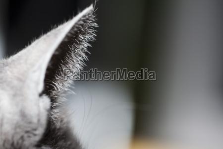 ear of grey cat close up