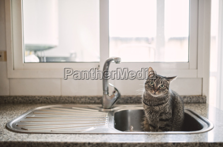 tabby cat sitting in the kitchen