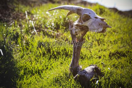 portugal madeira skull of a goat