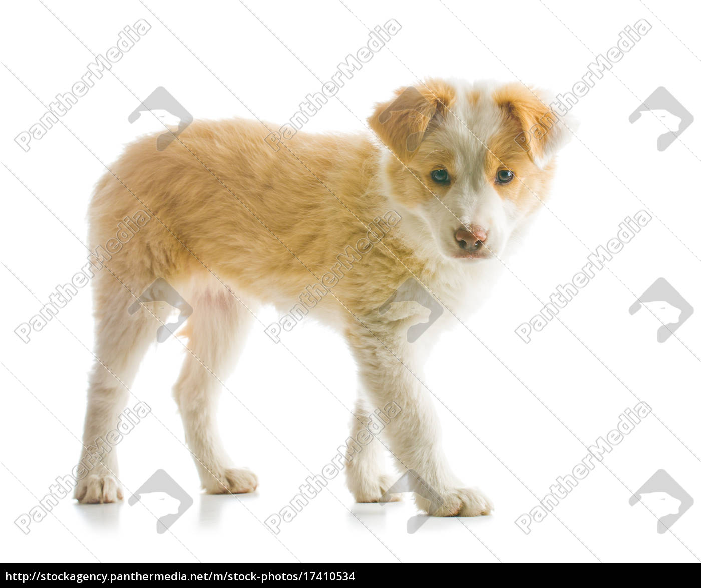 Border Collie Puppy Stock Image 17410534 Panthermedia Stock Agency