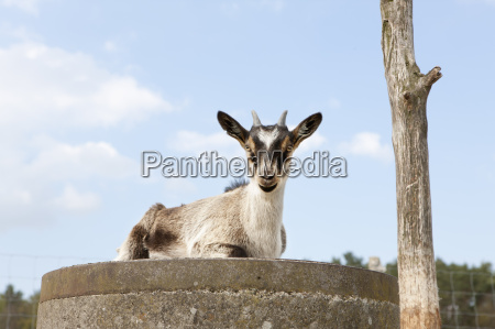 portrait of goat sitting on wall