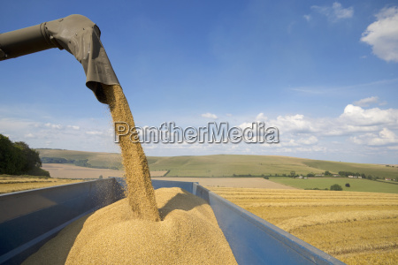 arm of combine harvester harvesting wheat