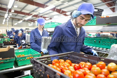 worker sorting ripe red tomatoes on