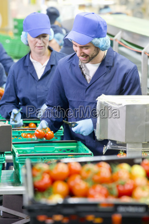 workers inspecting and packing tomatoes in