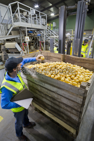 worker examining fresh harvested potato at