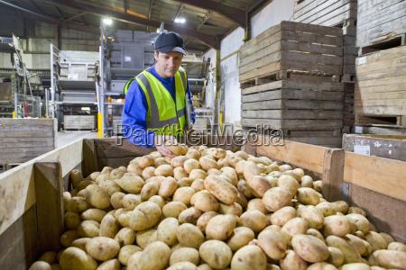 worker examining bin of fresh harvested