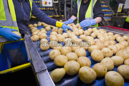 quality control workers inspecting potatoes on