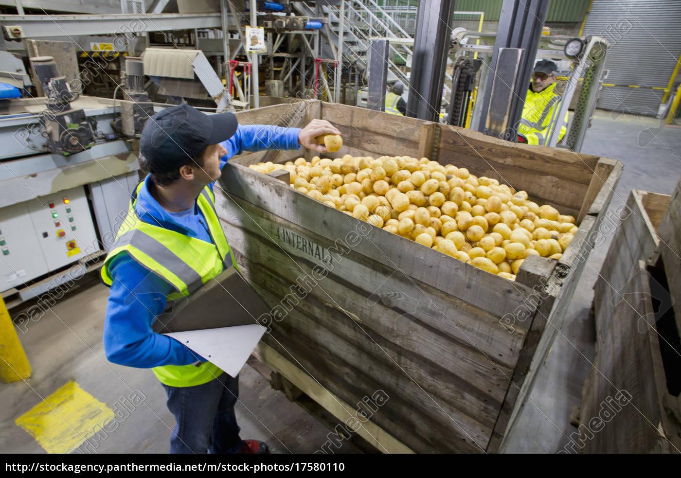 worker, examining, fresh, harvested, potato, at - 17580110