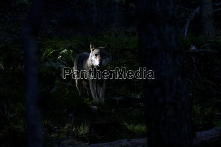 iberian wolf canis lupus signatus captive