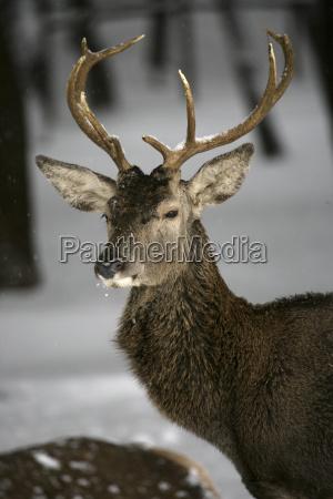 red deer cervus elaphus in monfraguee