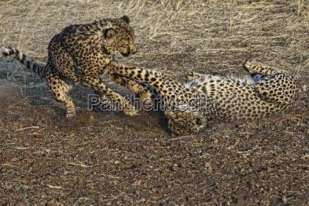 cheeta acinonyx jubatus etosha national park