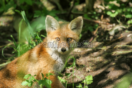 young fox at the burrow