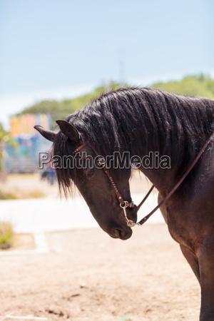 brown friesian horse
