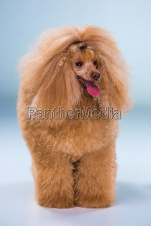 red toy poodle puppy on a