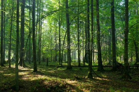deciduous stand of bialowieza forest in