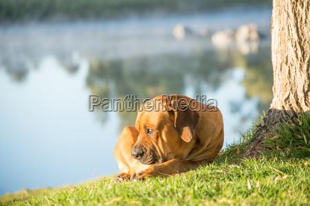 boerboel dog by tree on river
