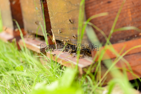 bees in the approach hole of
