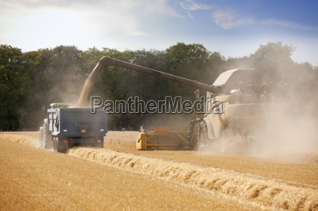 combine harvester harvesting wheat into trailer