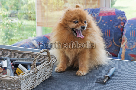 pomeranian german spitz dog in the