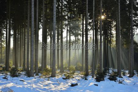 sun through coniferous forest in winter