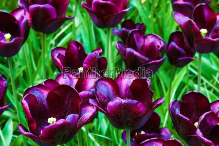 tulip field in keukenhof gardens lisse