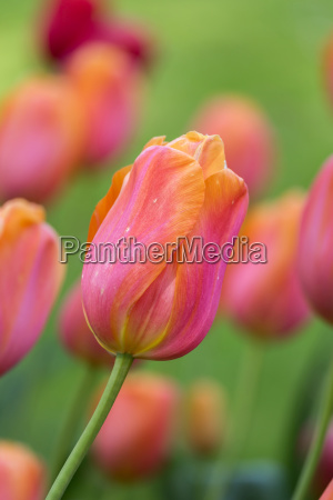 beautiful purpleyellow tulips in spring