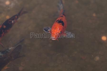 koi fish cyprinus carpio haematopterus
