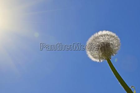 white dandelion over clear blue sky